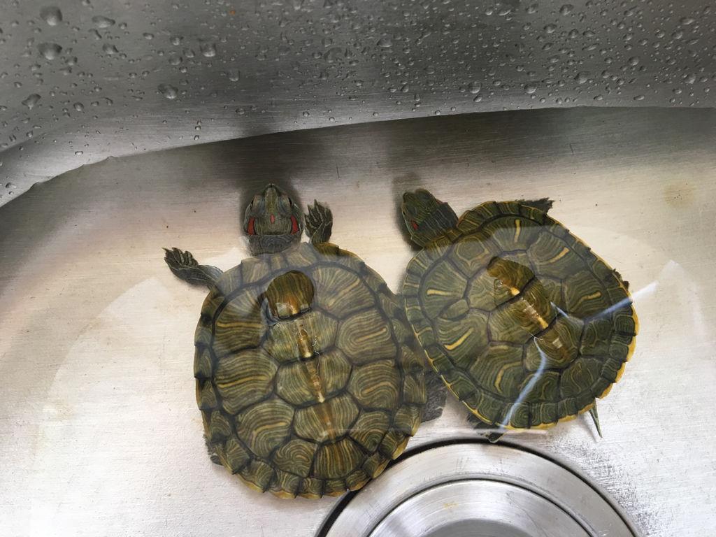 新手如何养龟?龟的饲养方法
