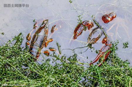 小龙虾养殖难不难?养小龙虾要多少成本?
