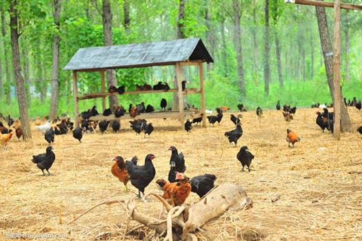 土鸡养殖场装天眼监控,财富滚滚而来