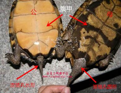 小乌龟怎么分辨公母?